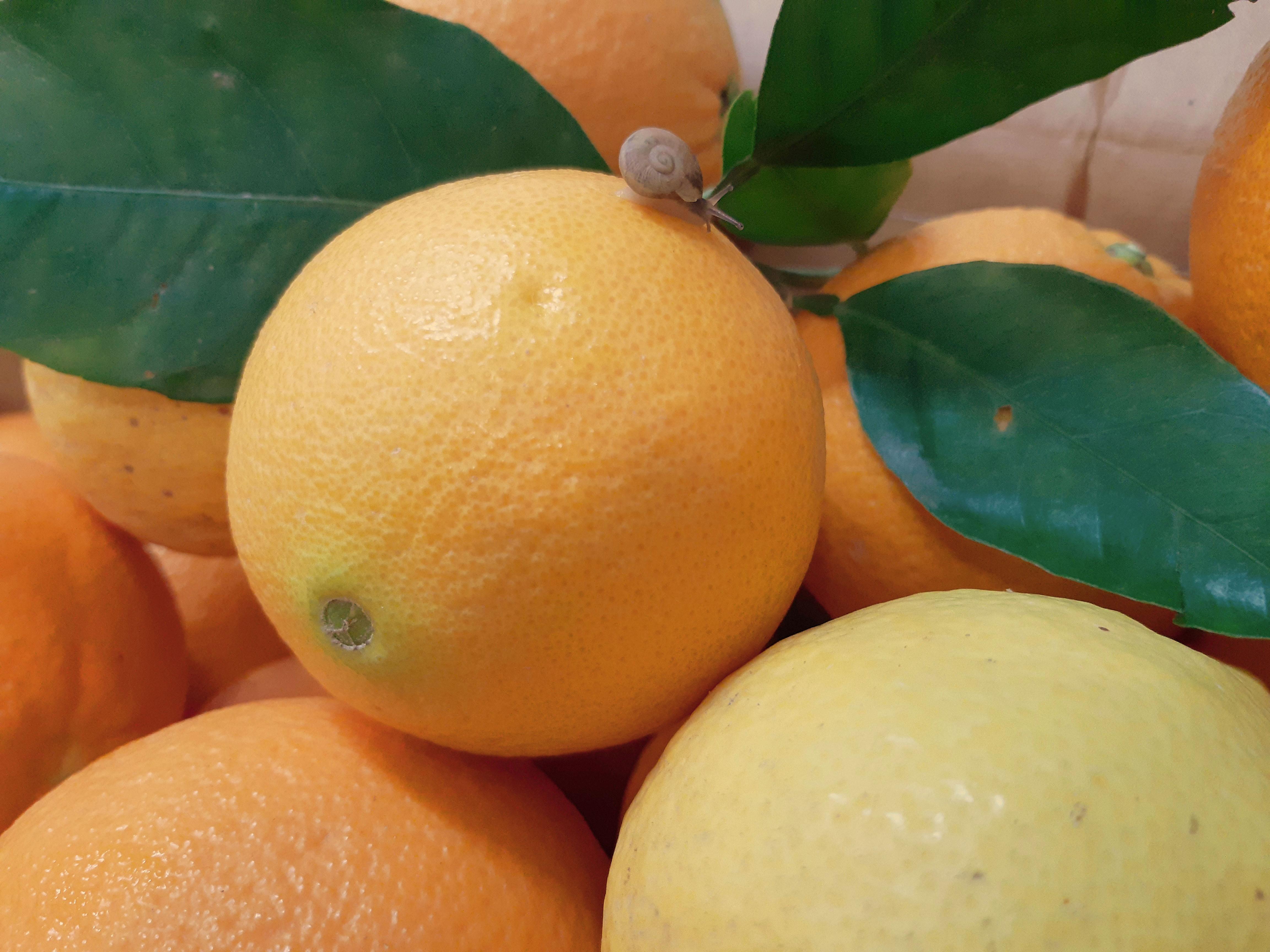 Oranges with snail Naranjas del Carmen